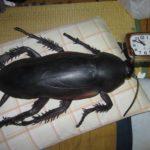Gokiburi (ゴキブリ) : le cafard, cet insecte grignoteur de récipients