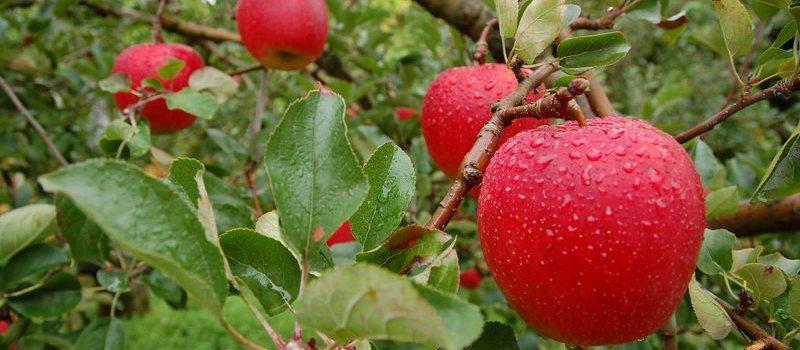 Pomme rouge venant de la région d'Aomori