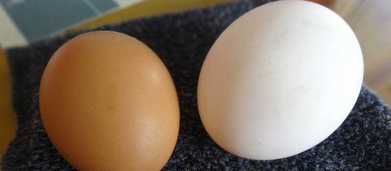 Un oeuf brun appelé akadama et un oeuf blanc shirotama.