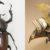 kabutomushi-scarabee-rhinoceros