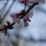 Sakura (偽客) : les fleurs de cerisiers qui sentent bon l'arnaque !