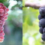 Budô (葡萄) : Le raisin au Japon, c'est sans pépin ?